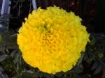 Marigold Antigua Yellow